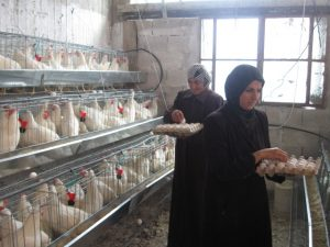 Palestina Farata - egg production