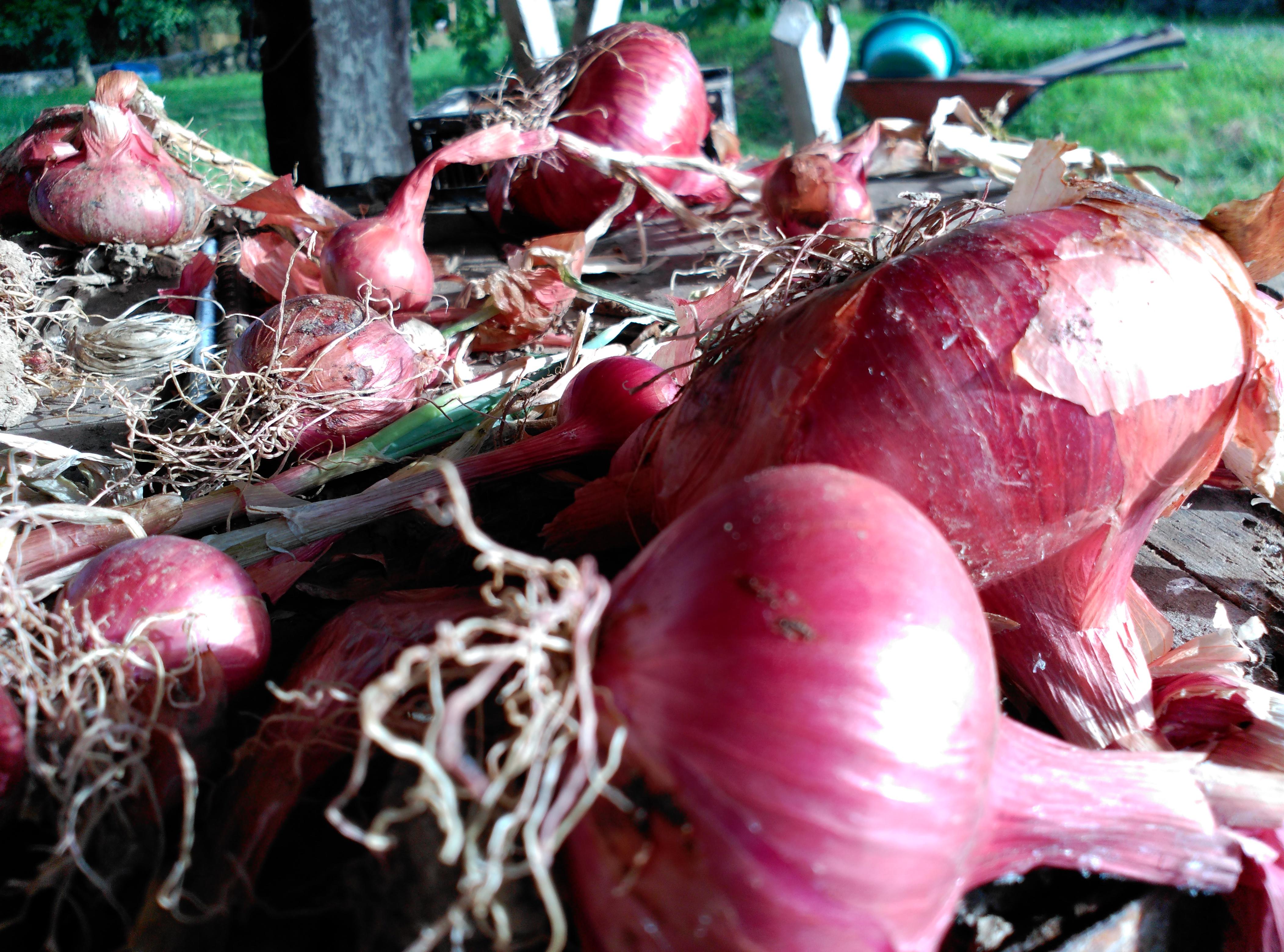 Cebollas agroecológicas